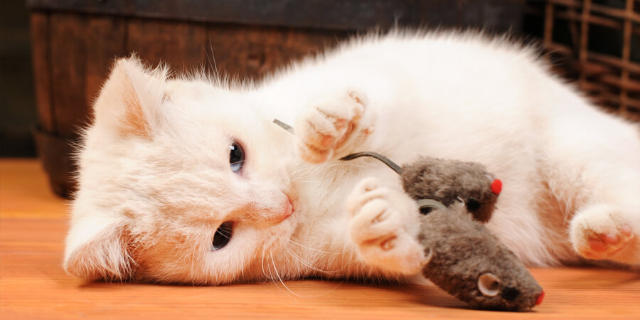 Correct Look After Your Felines Pet Cat