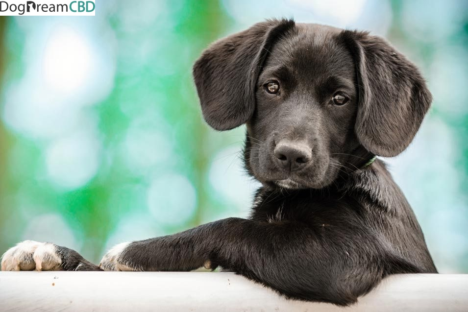 Exactly How To Come To Be Much Better With Cbd For Pet Dogs In 15 Minutes